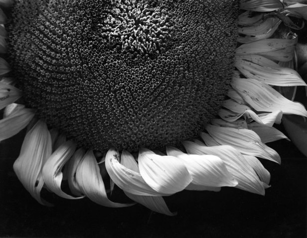 SunflowerPlate21copy